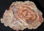 Small Navajo Petrified Wood